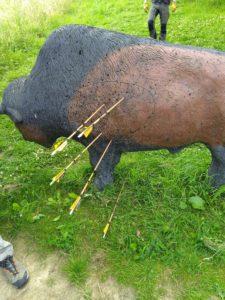 Bison mit Pfeilen - überwiegend in der Killzone
